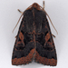 Orthosia praeses - Photo (c) Gary McDonald, all rights reserved