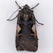 Setaceous Hebrew Character - Photo (c) Gary McDonald, all rights reserved