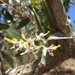 Antelope Orchid - Photo (c) schooey, all rights reserved