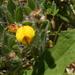 Acmispon subpinnatus - Photo (c) sebastian-andrade-t, all rights reserved