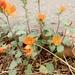 Sphaeralcea coulteri - Photo (c) Alex Mercer, todos los derechos reservados