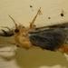 Lomera xanthochrysa - Photo (c) kimba882, all rights reserved