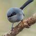Tacuarita Azul - Photo (c) Leonardo Quintana, todos los derechos reservados
