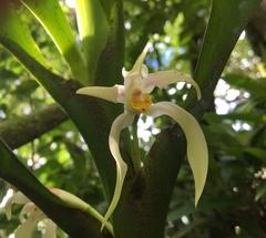 Image of Maxillaria inaudita