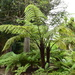 Black Tree Fern - Photo (c) Natalie Tapson, some rights reserved (CC BY-NC-SA)
