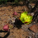 Cylindropuntia californica parkeri - Photo (c) gonzalezii, todos los derechos reservados, uploaded by Miguel González Botello
