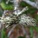 Andricus quercusfoliatus - Photo (c) Jay Keller, todos los derechos reservados, uploaded by Jay L. Keller