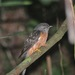 Brush Cuckoo - Photo (c) johnnybirder, some rights reserved (CC BY-NC), uploaded by Johnny Wilson