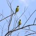 Eupsittula - Photo (c) Evaldo Nascimento, all rights reserved, uploaded by Evaldo Heber