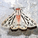 Arge Moth - Photo (c) David Barker, all rights reserved