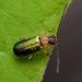 Apophylia beeneni - Photo (c) WonGun Kim, all rights reserved