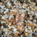 Erythraeinae - Photo (c) Alice Abela, כל הזכויות שמורות