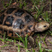 Elongated Tortoise - Photo (c) nomascus, all rights reserved, uploaded by Thomas Calame