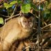Robust Capuchins - Photo (c) lecomte, all rights reserved