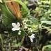 Klaprothia mentzelioides - Photo (c) Tatiana Arias, todos los derechos reservados