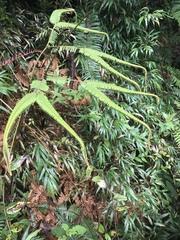 Sticherus bifidus image