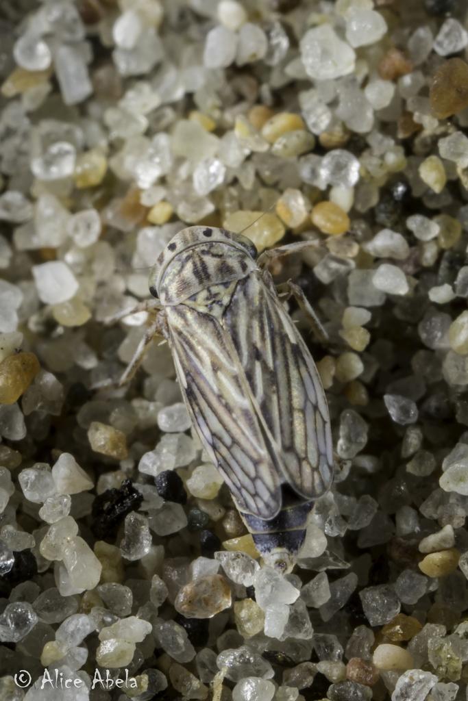 Aceratagallia sanguinolenta; (c) Alice Abela, all rights reserved