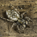 Intertidal Jumping Spider - Photo (c) Alice Abela, all rights reserved