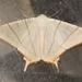 Ourapteryx clara - Photo (c) Roger Kendrick, todos los derechos reservados