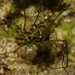 Algidia viridata bicolor - Photo (c) Anna Stewart, todos los derechos reservados