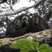 Pithecia monachus - Photo (c) scott_phares, todos os direitos reservados