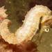 Hippocampus comes - Photo (c) Jeffrey Low, todos los derechos reservados