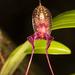 Masdevallia heteroptera - Photo (c) luisperez, todos los derechos reservados