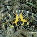 Mariposa Leopardo - Photo (c) Juan Carlos Garcia Morales, todos los derechos reservados