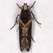 Telphusa sedulitella - Photo (c) Gary McDonald, all rights reserved