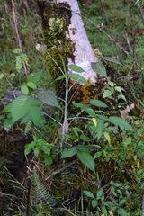 Rubus glaucus image