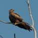 Milvus migrans affinis - Photo (c) Mike Hooper, todos los derechos reservados