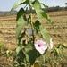 Amapola - Photo (c) Nagendra Rao, Teki, todos los derechos reservados