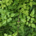Clematis grata - Photo (c) greenlapwing, todos los derechos reservados