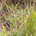 Euchiton limosus - Photo (c) David Lyttle, all rights reserved