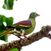 Thick-billed Green-Pigeon - Photo (c) johsan65, all rights reserved