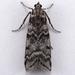 Myelopsis subtetricella - Photo (c) Gary McDonald, todos los derechos reservados