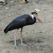 Storm's Stork - Photo (c) johsan65, all rights reserved