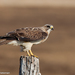 Swainson's Hawk - Photo (c) Gordon Dietzman, all rights reserved