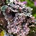 Leioderma pycnophorum - Photo (c) sarahhubert, all rights reserved