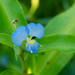 Virginia Dayflower - Photo (c) Eric Hunt, all rights reserved