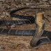 King Cobra - Photo (c) Artur Tomaszek, all rights reserved