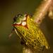Tomaspisina rubromarginata - Photo (c) Carlos Augusto Mesa Londoño, todos los derechos reservados
