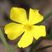 Guinea-Flower - Photo (c) Philip Bouchard, some rights reserved (CC BY-NC-ND)