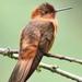 Aglaeactis cupripennis - Photo (c) Peter Hoell, όλα τα δικαιώματα διατηρούνται
