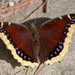 Mariposa Vuelo de Duelo - Photo (c) Anne, todos los derechos reservados