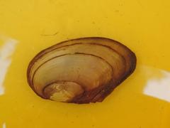 Image of Anodonta anatina