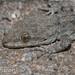 Kotschy's Gecko - Photo (c) Jan Grathwohl, all rights reserved
