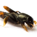 Pygmy Mole Crickets - Photo (c) Brandon Woo, all rights reserved