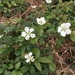 Southern Dewberry - Photo (c) opossumfan, all rights reserved