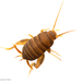 Eastern Ant Cricket - Photo (c) Brandon Woo, all rights reserved